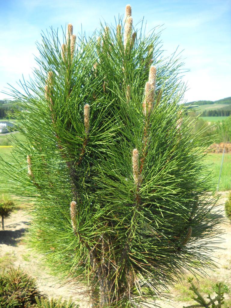 Pinus nigra Österreichische Schwarzkiefer Select 30-40cm