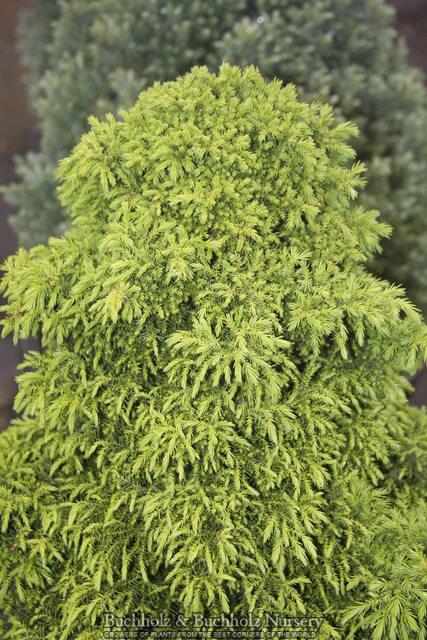 Thuya Holm Balle 25-30 cm-Thuja occidentalis