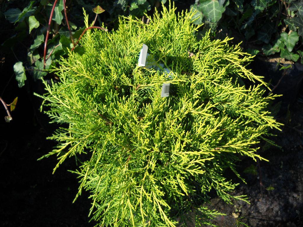 Juniperus brka juniper juniperus chinensis armstrong gold reviewsmspy
