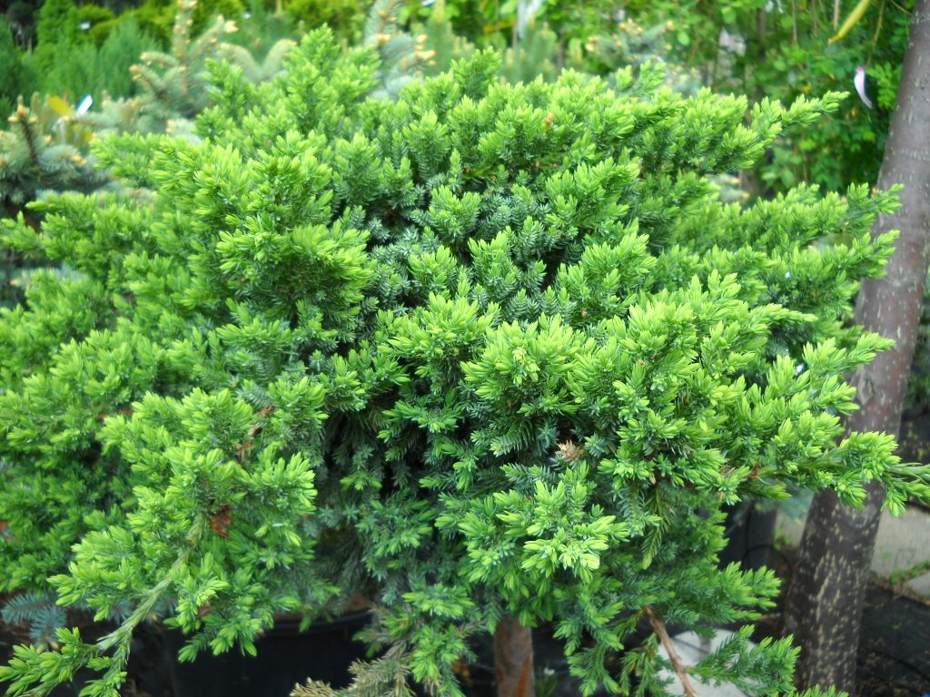 Juniperus juniperus chinensis parsonsii reviewsmspy