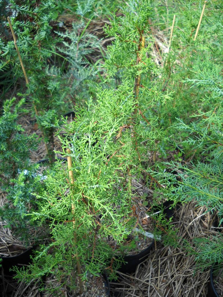 Juniperus juniperus ashei reviewsmspy