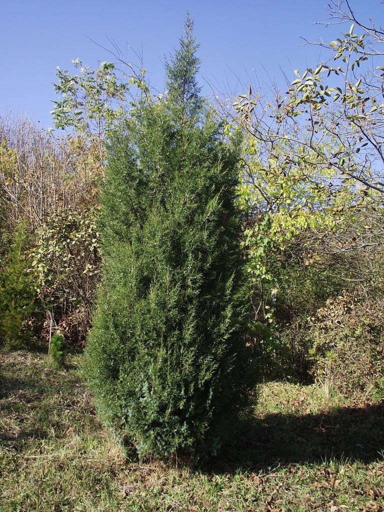 Juniperus juniperus chinensis columnaris reviewsmspy