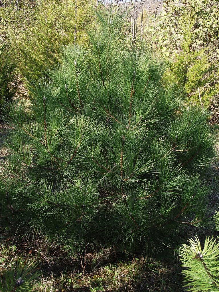 Österreichische Schwarzkiefer 80-90cm Pinus nigra austriaca