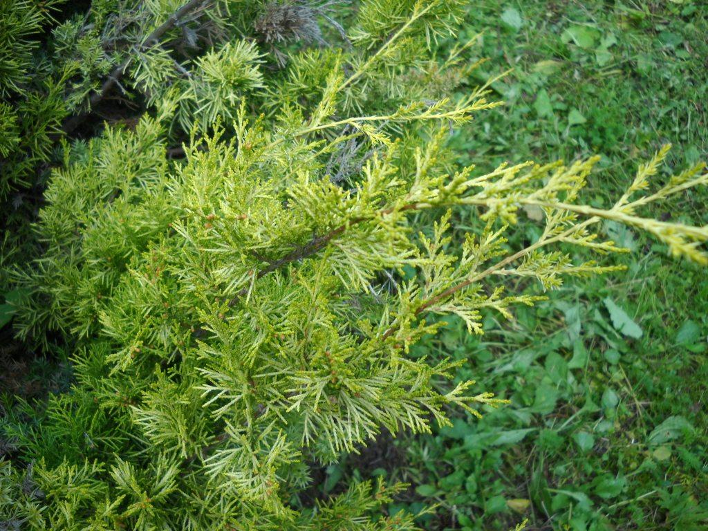 Juniperus juniperus chinensis sabjn reviewsmspy