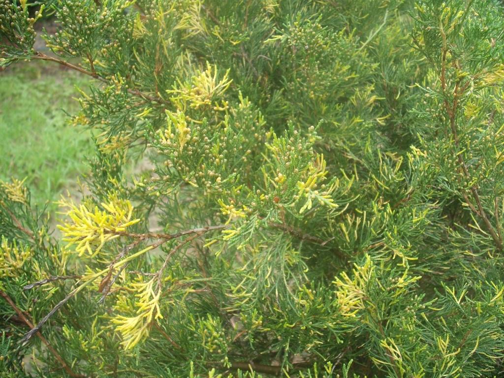 Juniperus juniperus chinensis aranyfoltos reviewsmspy