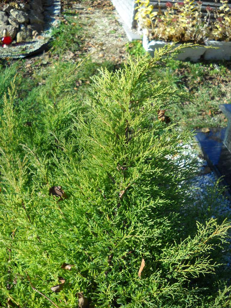Juniperus juniperus chinensis mph citromprna reviewsmspy