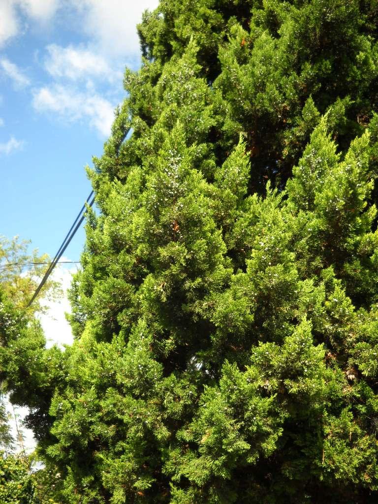 Juniperus juniperus chinensis mph ndor reviewsmspy