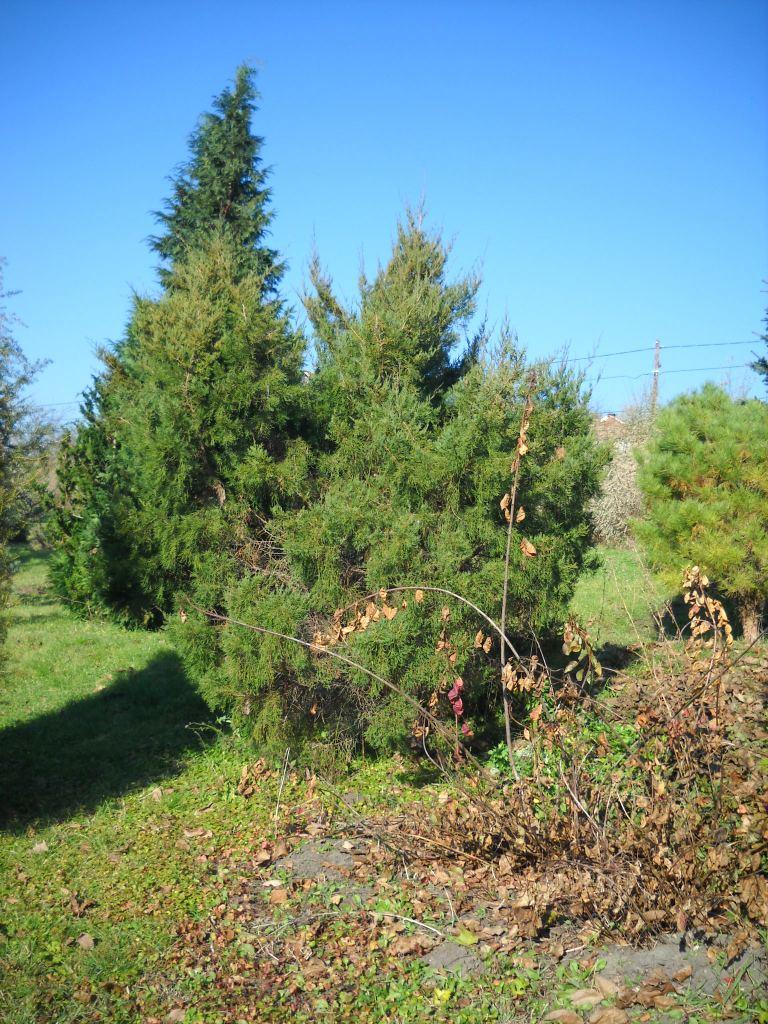 Juniperus juniperus chinensis japonica stricta reviewsmspy