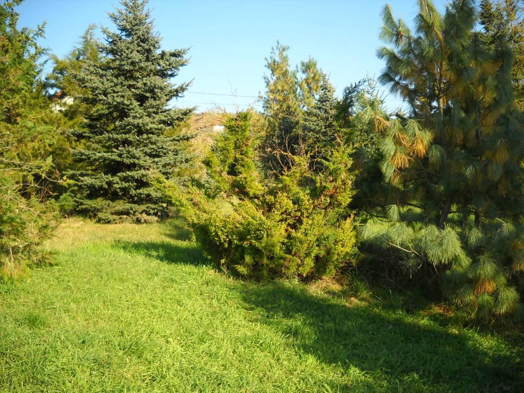 juniperus bóróka u2013 juniper