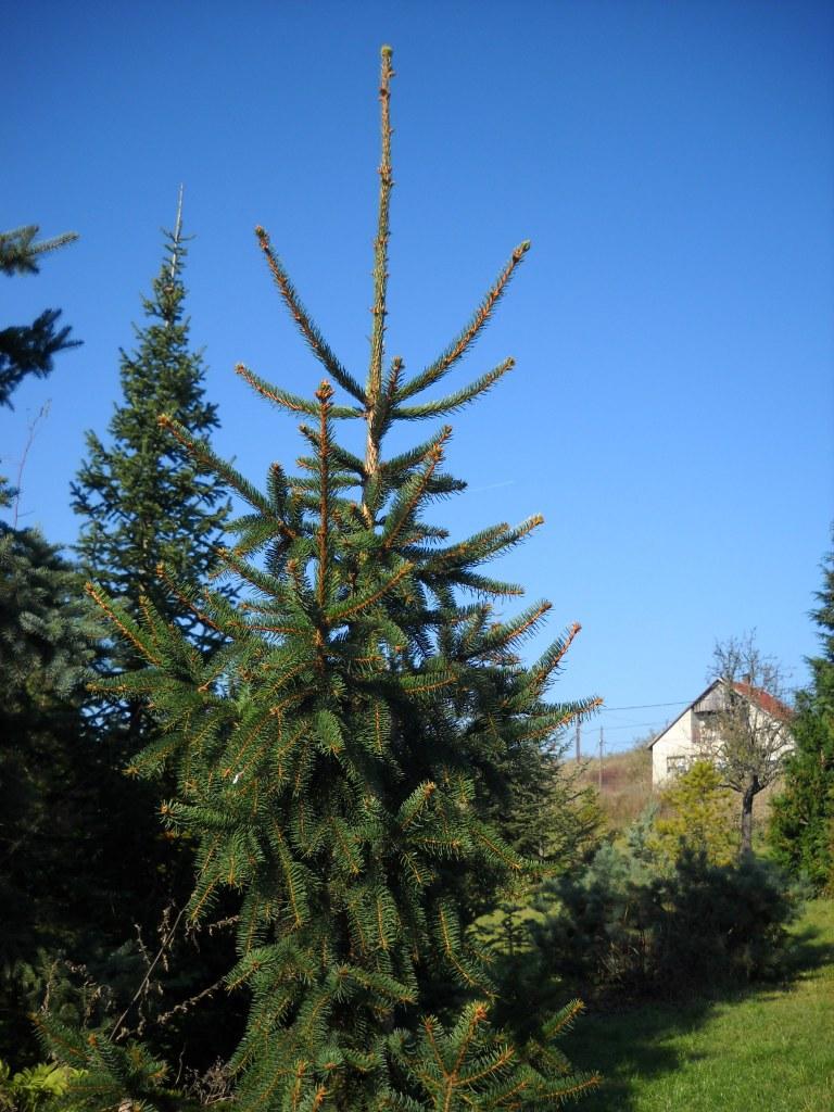 Picea Abies Közönséges Luc European Spruce